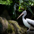 Pelican sitting on a rock. Zoo in Singapore — Stock Photo