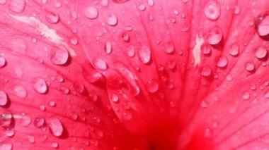 Wet Flower Petal — Stock Video