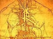Starej anatomii — Zdjęcie stockowe