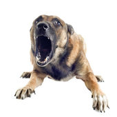 Angry malinois — Stock Photo