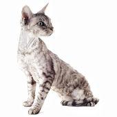 Devon rex kot — Zdjęcie stockowe
