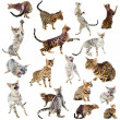 Bengal cats — Stock Photo
