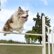 Stock Photo: Jumping border collie