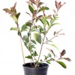 Japanese photinia — Stock Photo