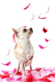 Puppy chihuahua with pink feather — Stock Photo