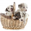 Puppies border collies - Stockfoto