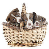 Puppy border collie in basket — Stock Photo