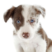 Puppy border collie — Stock Photo