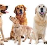 Постер, плакат: Golden and labrador retriever