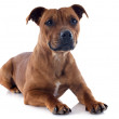 Staffordshire bull terrier — Stock Photo #18952673
