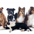 Five dogs — Stock Photo