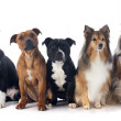 Five dogs — Stock Photo #19214435