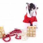 Santa claus chihuahua — Stock Photo