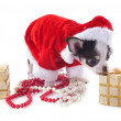 Santa claus chihuahua — Stock Photo