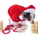 Santa claus chihuahua — Stock Photo #19214995