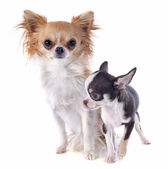 Puppy and adult chihuahua — Stockfoto