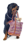 Rottweiler and chihuahua in a bag — Stock Photo