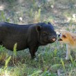 Liitle piggy and chihuahua — Stock Photo