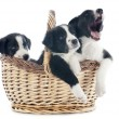 Puppies border collies — Stock Photo