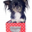 Chihuahua in box — Stock Photo