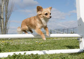 Jumping chihuahua — Stock Photo