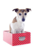 Jack russel terrier in a box — Stock Photo