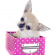 Puppy chihuahua in craft — Stock Photo