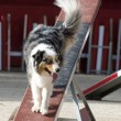 Royalty-Free Stock Photo: Australian shepherd in agility