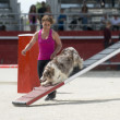 Stock Photo: Border collie in agility