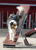 Australian shepherd in agility — Stock Photo