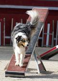 Owczarek australijski w agility — Zdjęcie stockowe