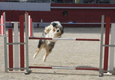 Australian shepherd in agility — Stock Photo