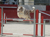 Jumping border collie — Stock Photo