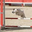 Jack russel terrier in agility — Stock Photo