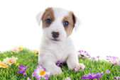 Filhote de cachorro jack terrier russel — Foto Stock