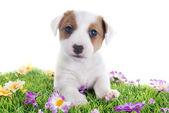 Szczeniak jack russel terier — Zdjęcie stockowe