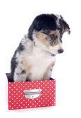 Puppy border collie — Stock Photo
