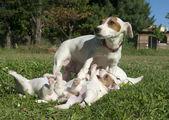 Rodziny jack russel terier — Zdjęcie stockowe