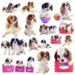 Stock Photo: Cavalier king charles