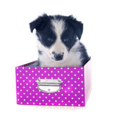Puppy border collie in a box — Stock Photo
