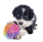 Cachorro border collie y bola — Foto de Stock