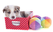 Puppy border collie in box — Stock Photo