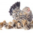 Family chicken — Stock Photo