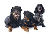 Rottweilers and cocker spanier — Stock fotografie