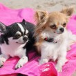 Chihuahuas on the beach — Stock Photo #27166211
