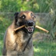 Stock Photo: Angry malinois