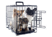 Chihuahuas in kennel — Stock Photo