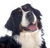 Bernese moutain dog — Stock Photo