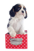 Puppy cavalier king charles — Foto Stock