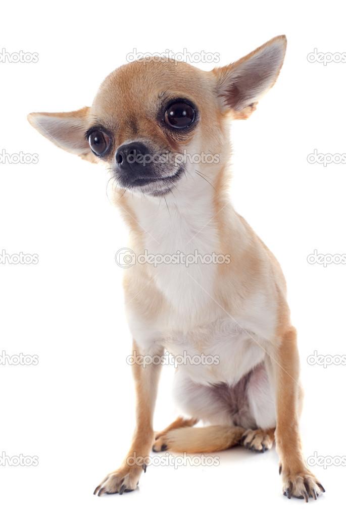 可爱的纯种小狗吉娃娃在白色背景前的肖像 — 图库照片#27345263
